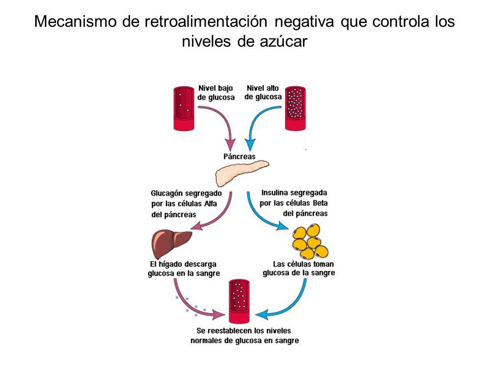 Mecanismo de retroalimentación negativa que controla los niveles de azúcar