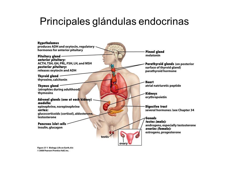 Principales glándulas endocrinas