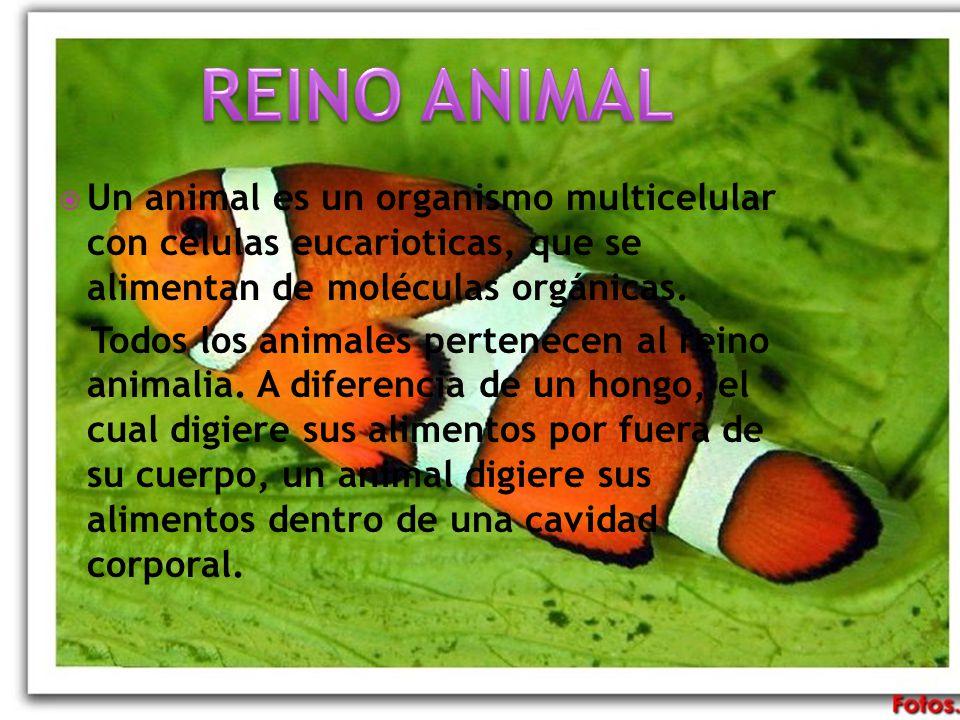 REINO ANIMAL Un animal es un organismo multicelular con células eucarioticas, que se alimentan de moléculas orgánicas.