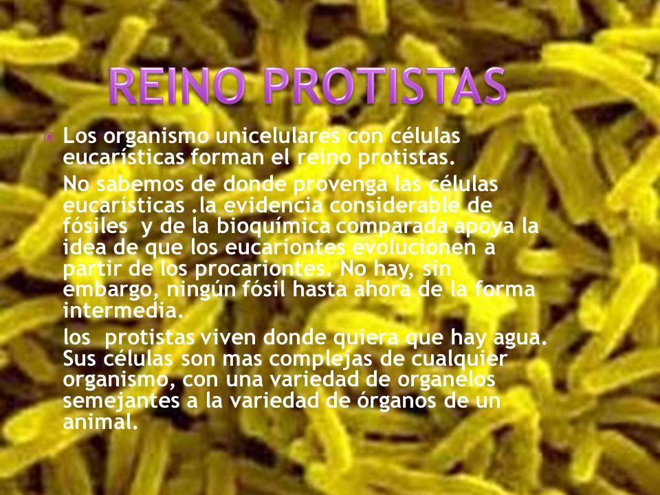 REINO PROTISTAS Los organismo unicelulares con células eucarísticas forman el reino protistas.