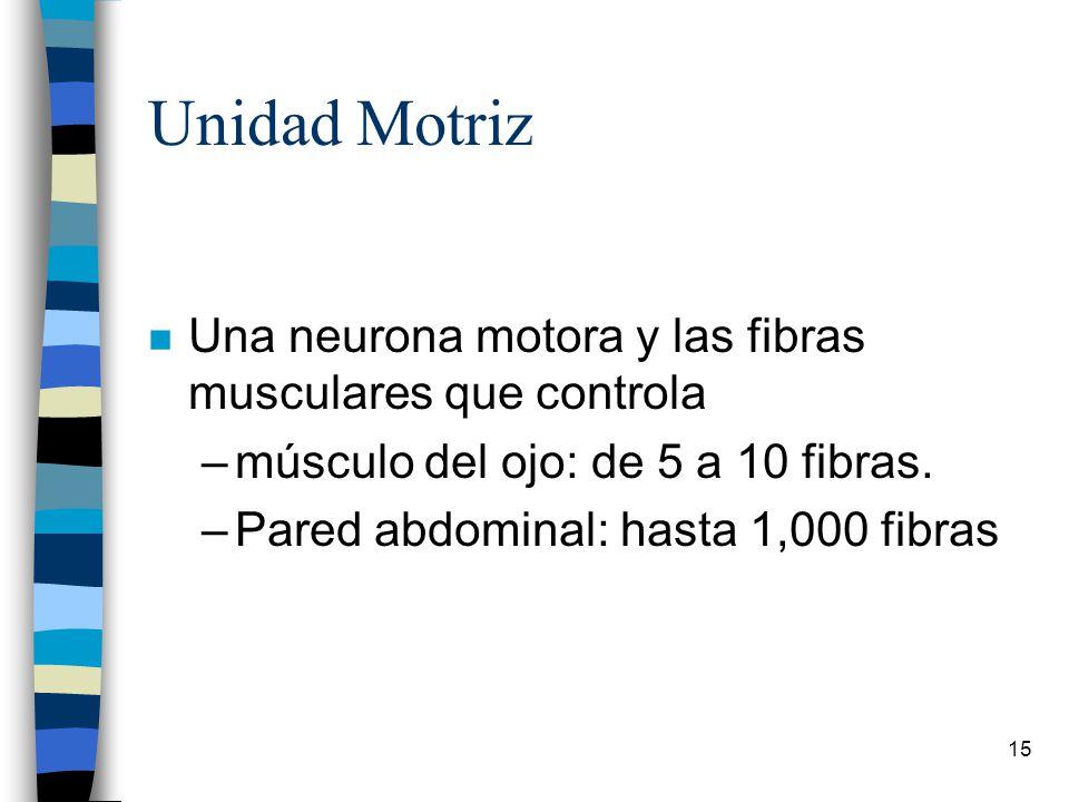 Unidad Motriz Una neurona motora y las fibras musculares que controla