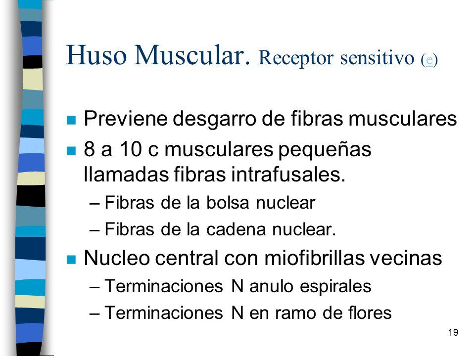 Huso Muscular. Receptor sensitivo (e)