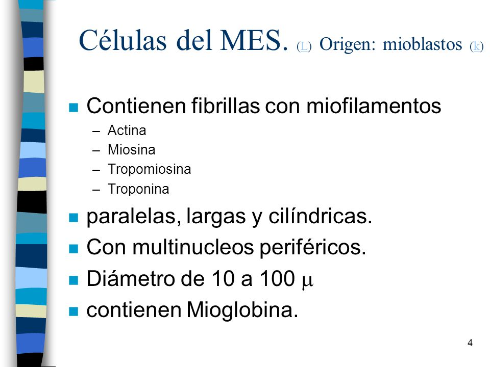 Células del MES. (L) Origen: mioblastos (k)