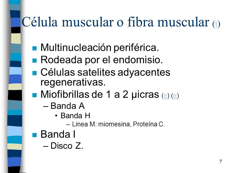Célula muscular o fibra muscular (t)