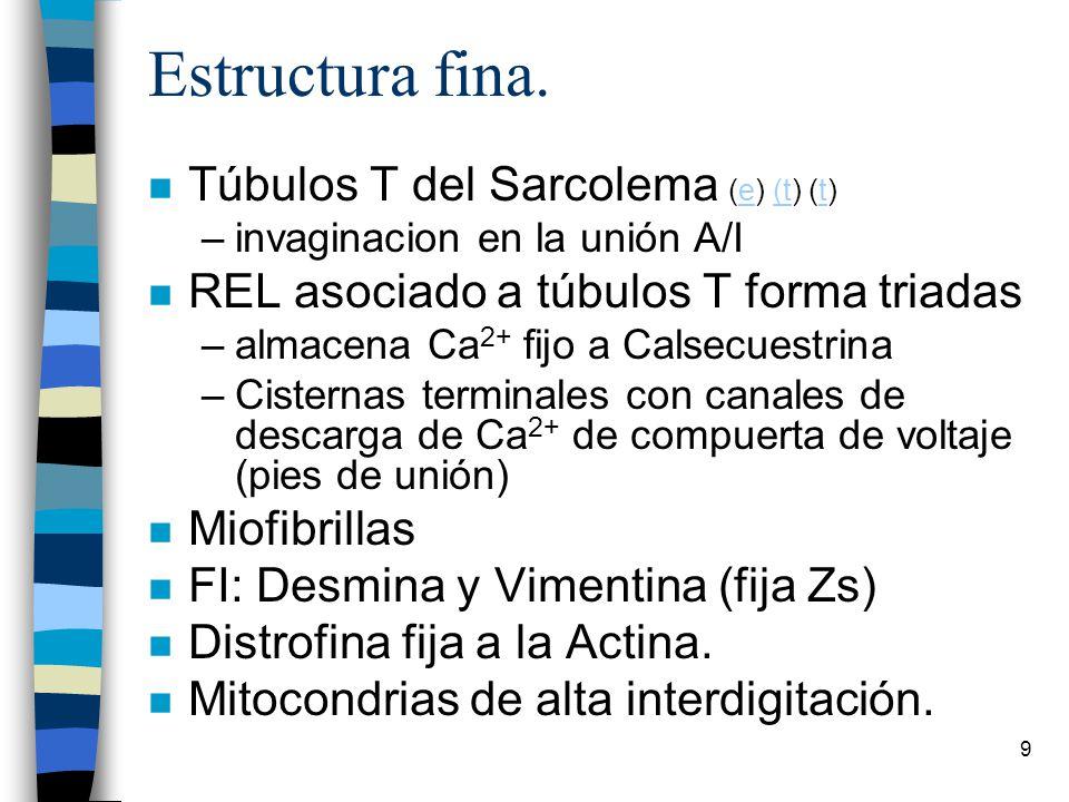 Estructura fina. Túbulos T del Sarcolema (e) (t) (t)