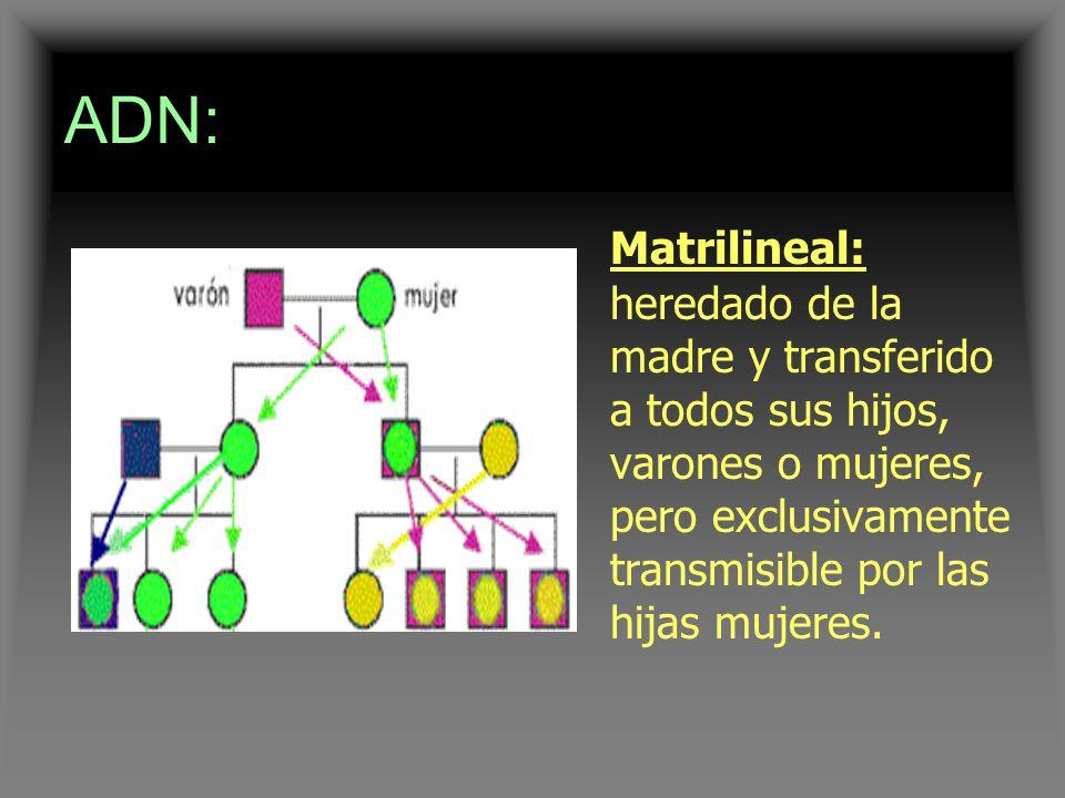 ADN: Matrilineal: heredado de la madre y transferido a todos sus hijos, varones o mujeres, pero exclusivamente transmisible por las hijas mujeres.