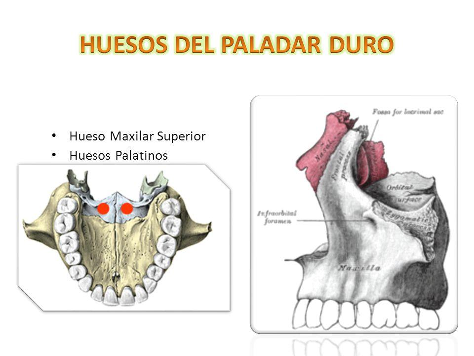 Contemporáneo Anatomía Del Paladar Blando Patrón - Imágenes de ...