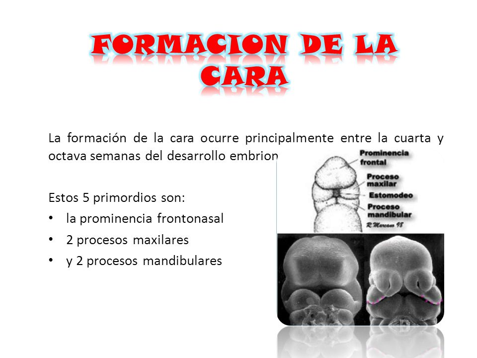 FORMACION DE LA CARA La formación de la cara ocurre principalmente entre la cuarta y octava semanas del desarrollo embrionario.