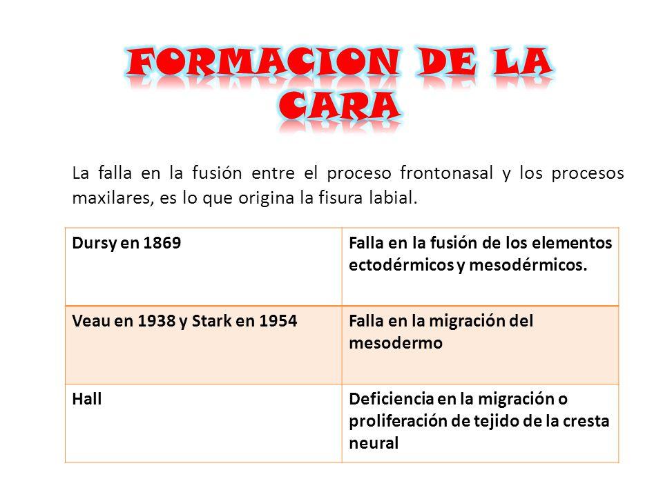 FORMACION DE LA CARA La falla en la fusión entre el proceso frontonasal y los procesos maxilares, es lo que origina la fisura labial.