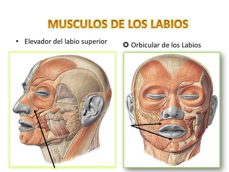 MUSCULOS DE LOS LABIOS Elevador del labio superior