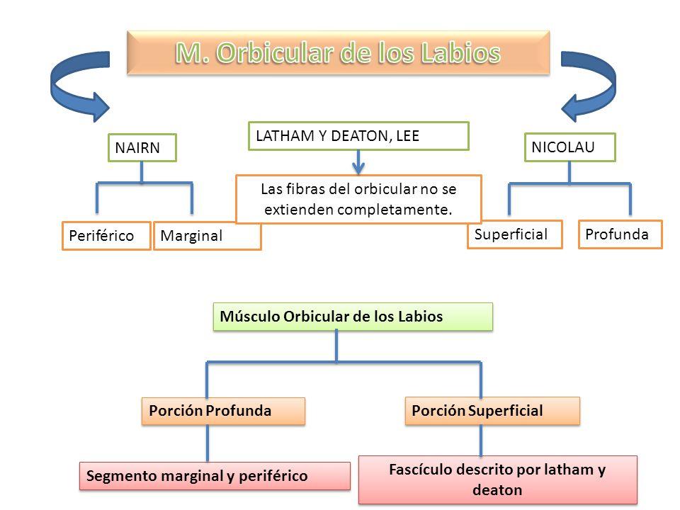 M. Orbicular de los Labios Fascículo descrito por latham y deaton
