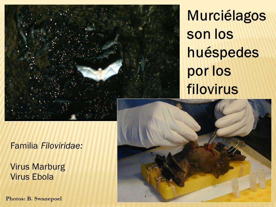 Murciélagos son los huéspedes por los filovirus