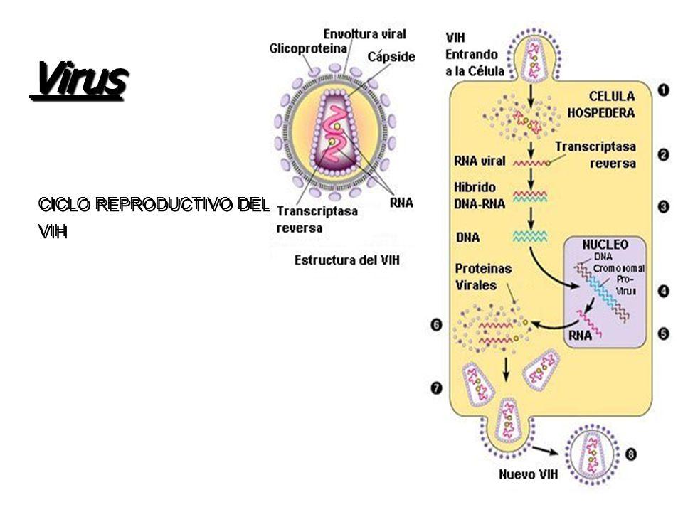 Virus CICLO REPRODUCTIVO DEL VIH VOCALÍA ATENCIÓN PRIMARIA.