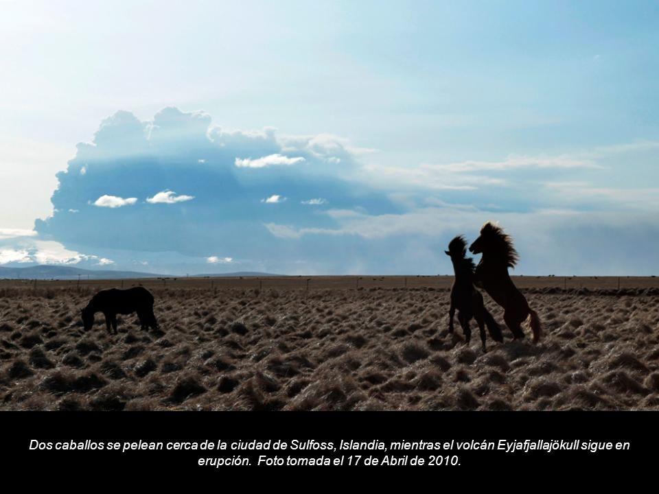 Dos caballos se pelean cerca de la ciudad de Sulfoss, Islandia, mientras el volcán Eyjafjallajökull sigue en erupción.