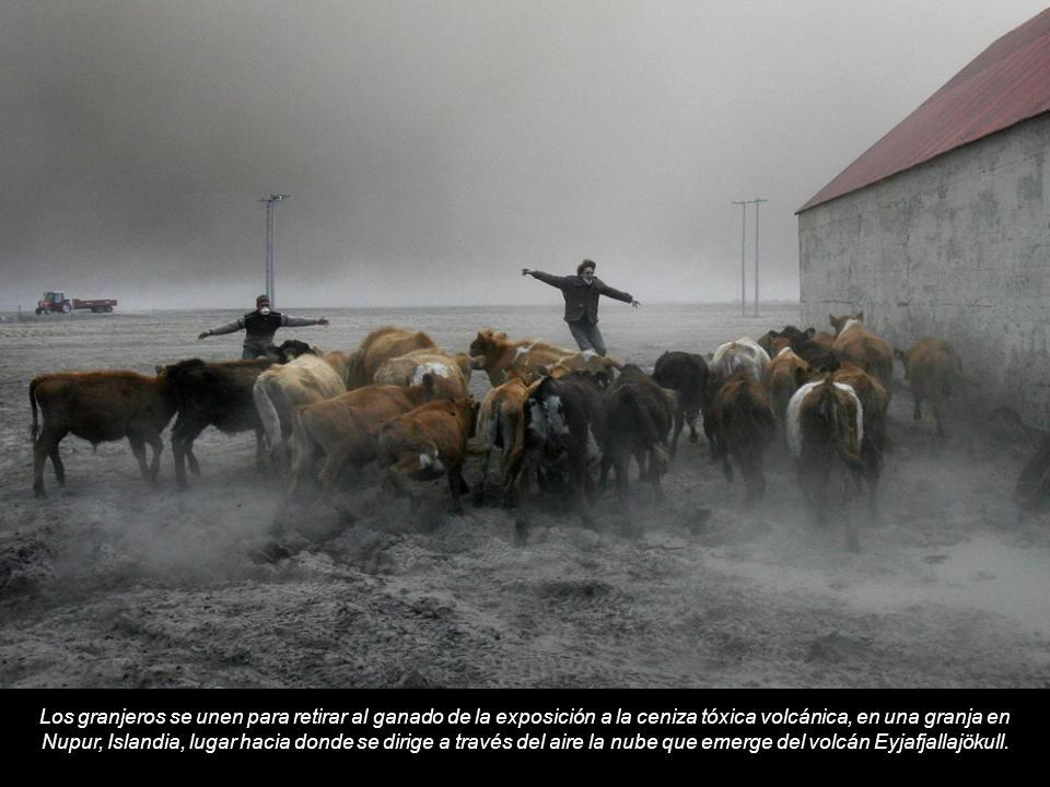 Los granjeros se unen para retirar al ganado de la exposición a la ceniza tóxica volcánica, en una granja en Nupur, Islandia, lugar hacia donde se dirige a través del aire la nube que emerge del volcán Eyjafjallajökull.