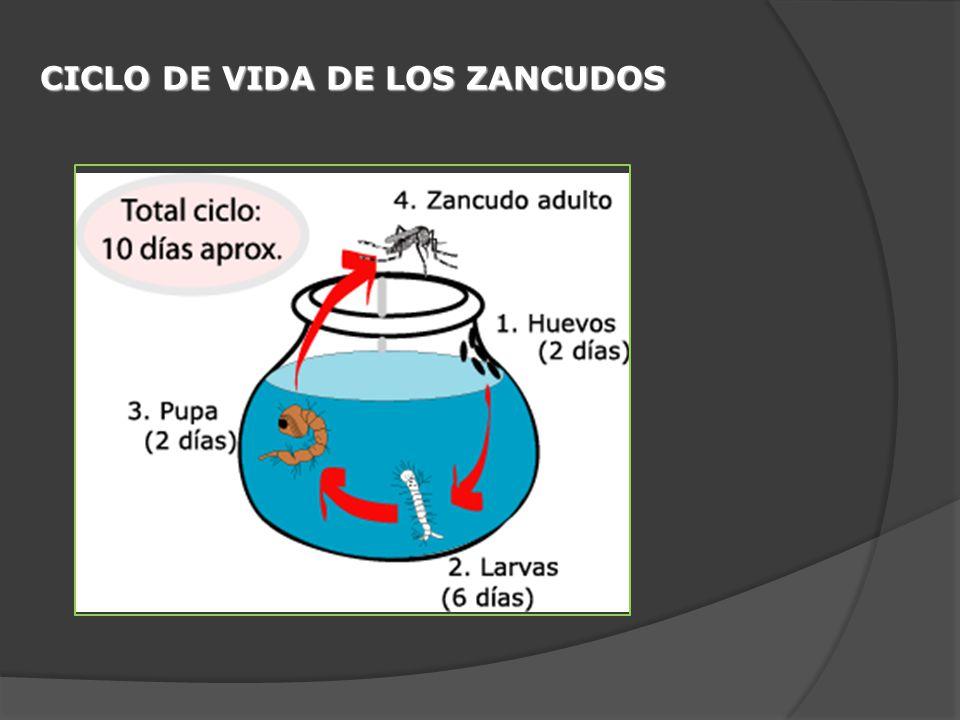 CICLO DE VIDA DE LOS ZANCUDOS