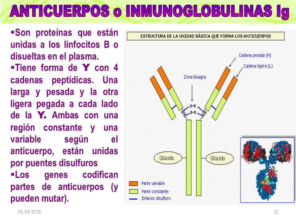 ANTICUERPOS o INMUNOGLOBULINAS Ig