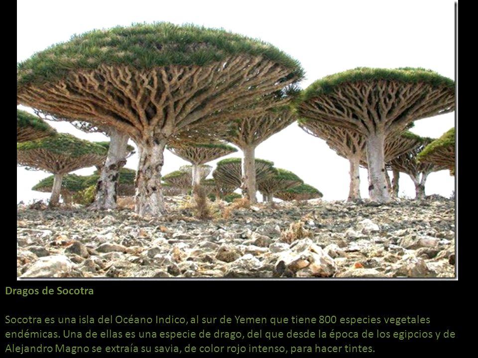 Dragos de Socotra Socotra es una isla del Océano Indico, al sur de Yemen que tiene 800 especies vegetales endémicas.
