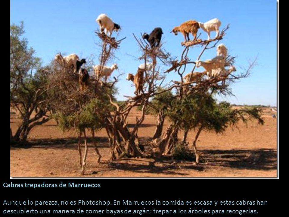 Cabras trepadoras de Marruecos Aunque lo parezca, no es Photoshop