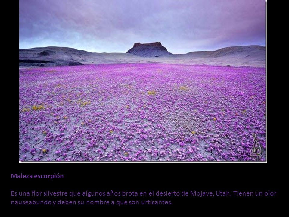 Maleza escorpión Es una flor silvestre que algunos años brota en el desierto de Mojave, Utah.