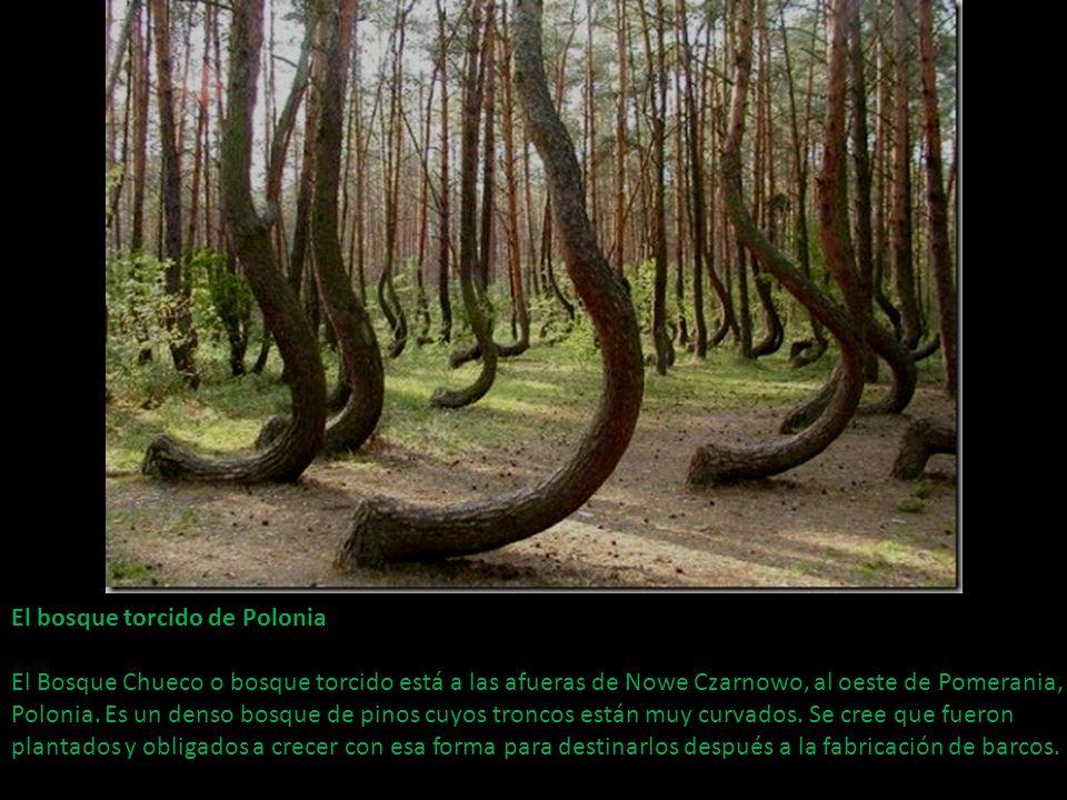 El bosque torcido de Polonia El Bosque Chueco o bosque torcido está a las afueras de Nowe Czarnowo, al oeste de Pomerania, Polonia.