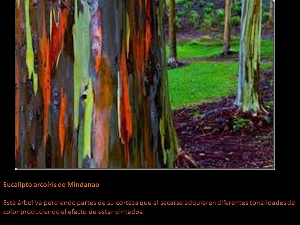 Eucalipto arcoíris de Mindanao Este árbol va perdiendo partes de su corteza que al secarse adquieren diferentes tonalidades de color produciendo el efecto de estar pintados.
