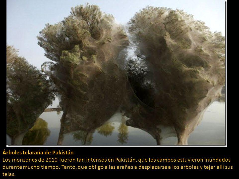 Árboles telaraña de Pakistán Los monzones de 2010 fueron tan intensos en Pakistán, que los campos estuvieron inundados durante mucho tiempo.