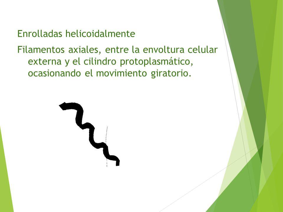 Enrolladas helicoidalmente Filamentos axiales, entre la envoltura celular externa y el cilindro protoplasmático, ocasionando el movimiento giratorio.