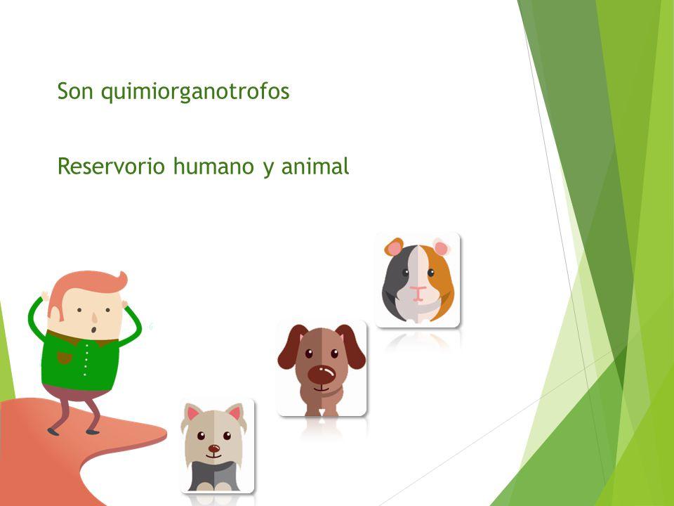 Son quimiorganotrofos Reservorio humano y animal