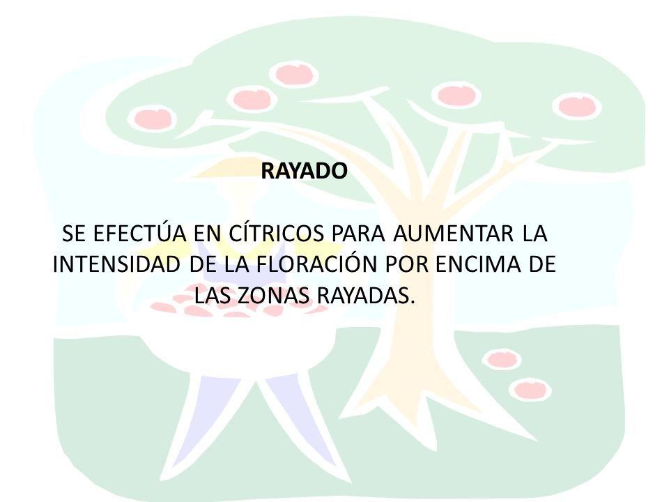 RAYADO SE EFECTÚA EN CÍTRICOS PARA AUMENTAR LA INTENSIDAD DE LA FLORACIÓN POR ENCIMA DE LAS ZONAS RAYADAS.