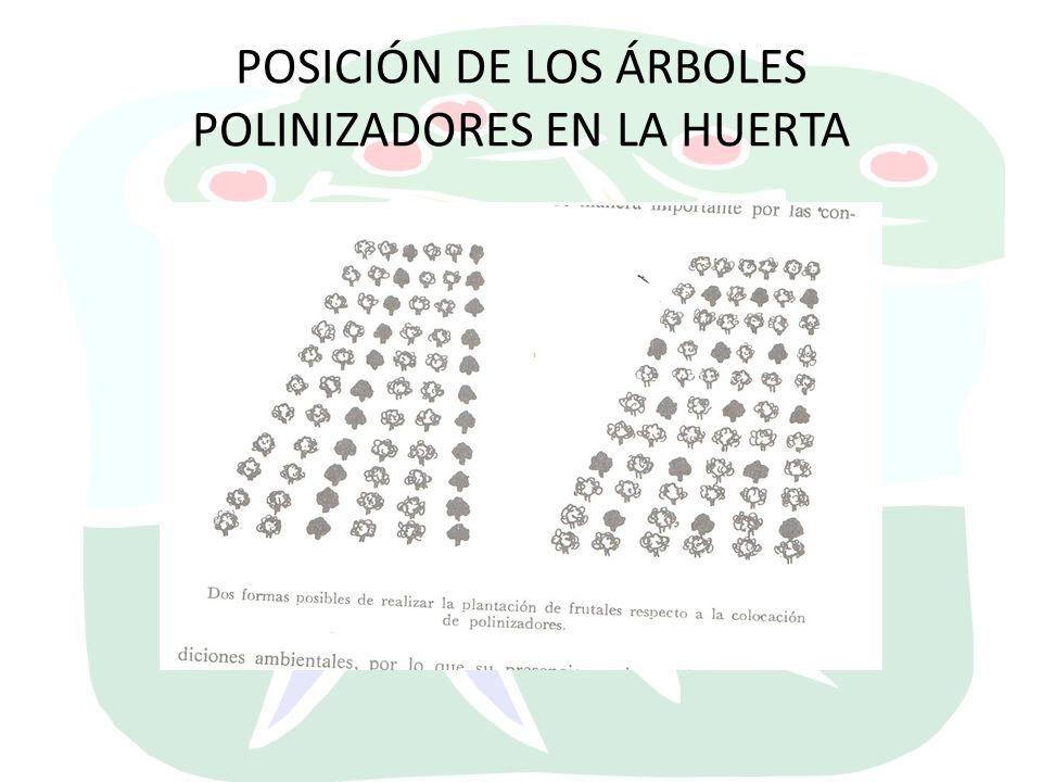 POSICIÓN DE LOS ÁRBOLES POLINIZADORES EN LA HUERTA