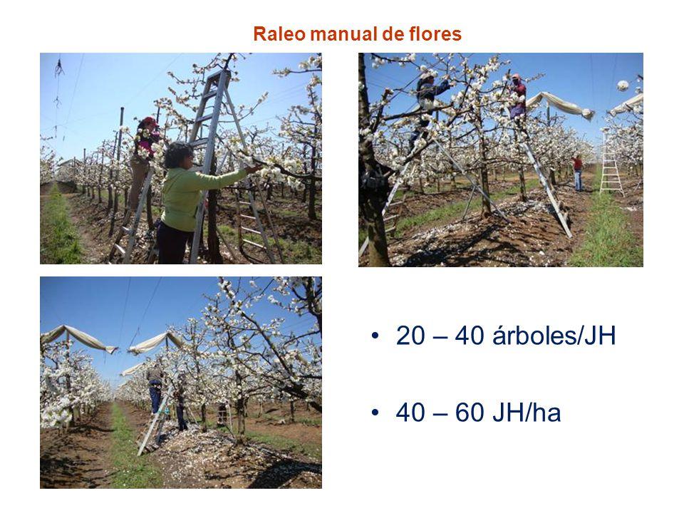Raleo manual de flores 20 – 40 árboles/JH 40 – 60 JH/ha