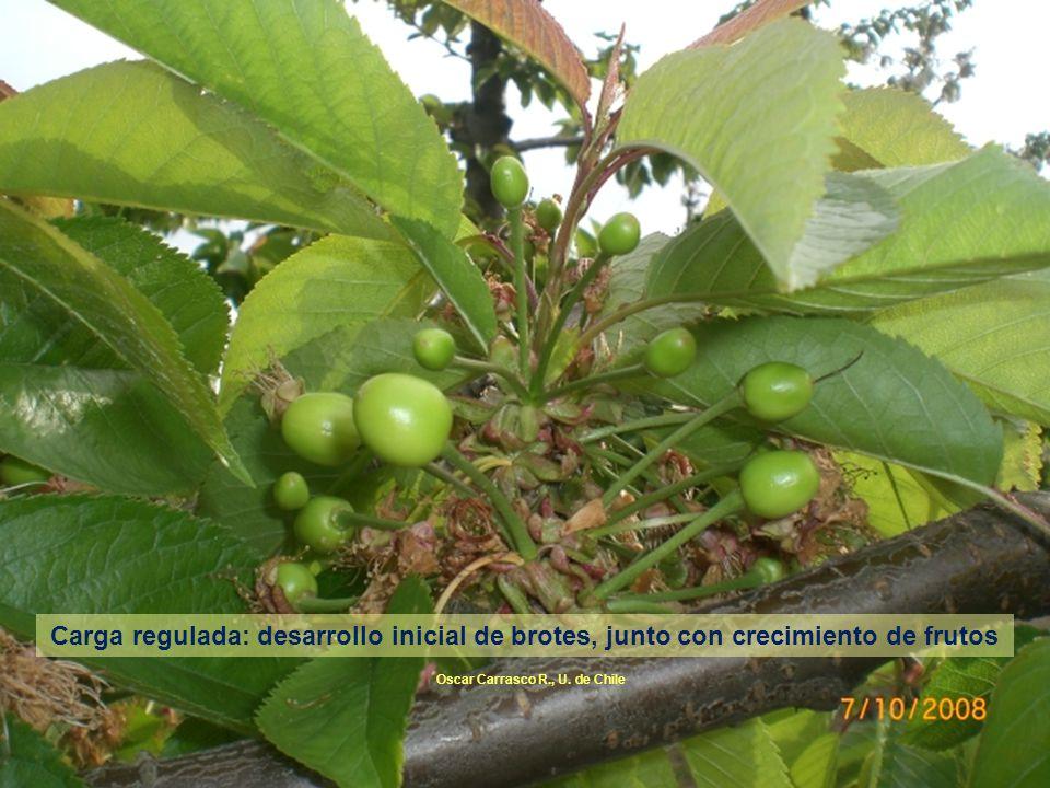 Carga regulada: desarrollo inicial de brotes, junto con crecimiento de frutos