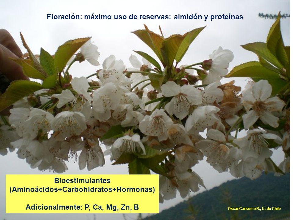 Floración: máximo uso de reservas: almidón y proteínas