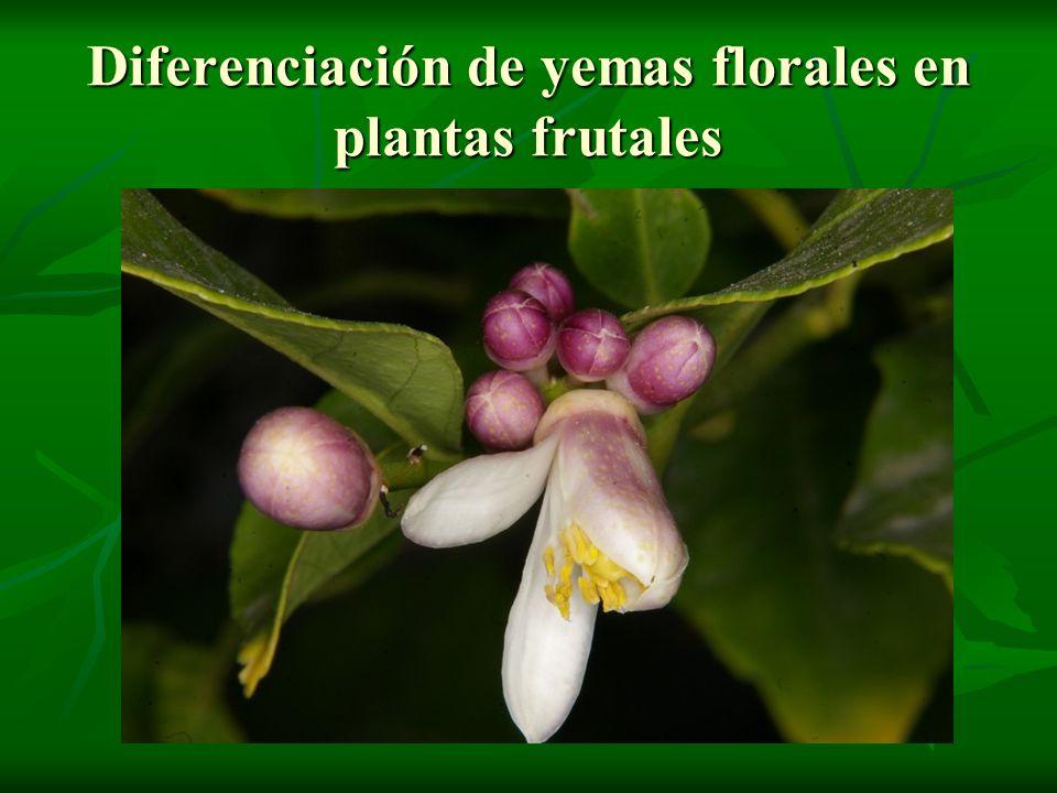 Diferenciación de yemas florales en plantas frutales