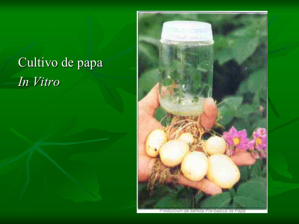 Cultivo de papa In Vitro