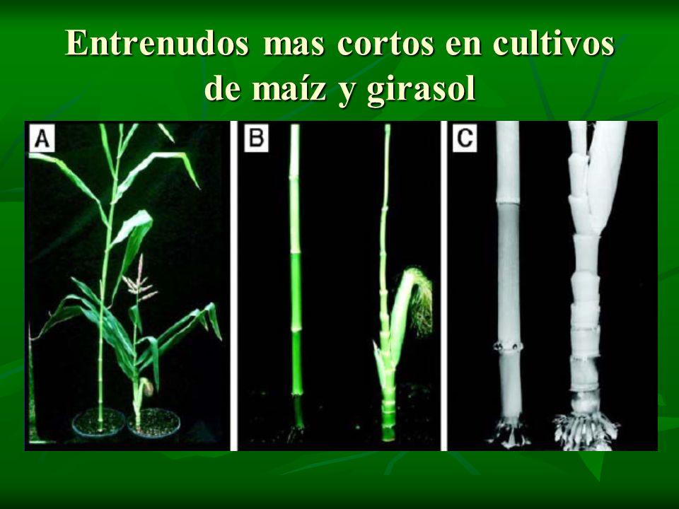Entrenudos mas cortos en cultivos de maíz y girasol