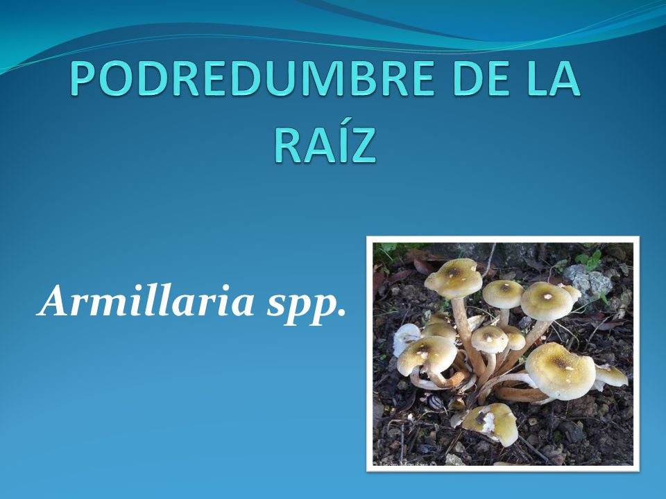 PODREDUMBRE DE LA RAÍZ Armillaria spp.