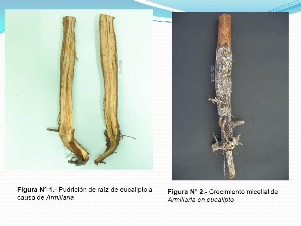 Figura N° 1.- Pudrición de raíz de eucalipto a