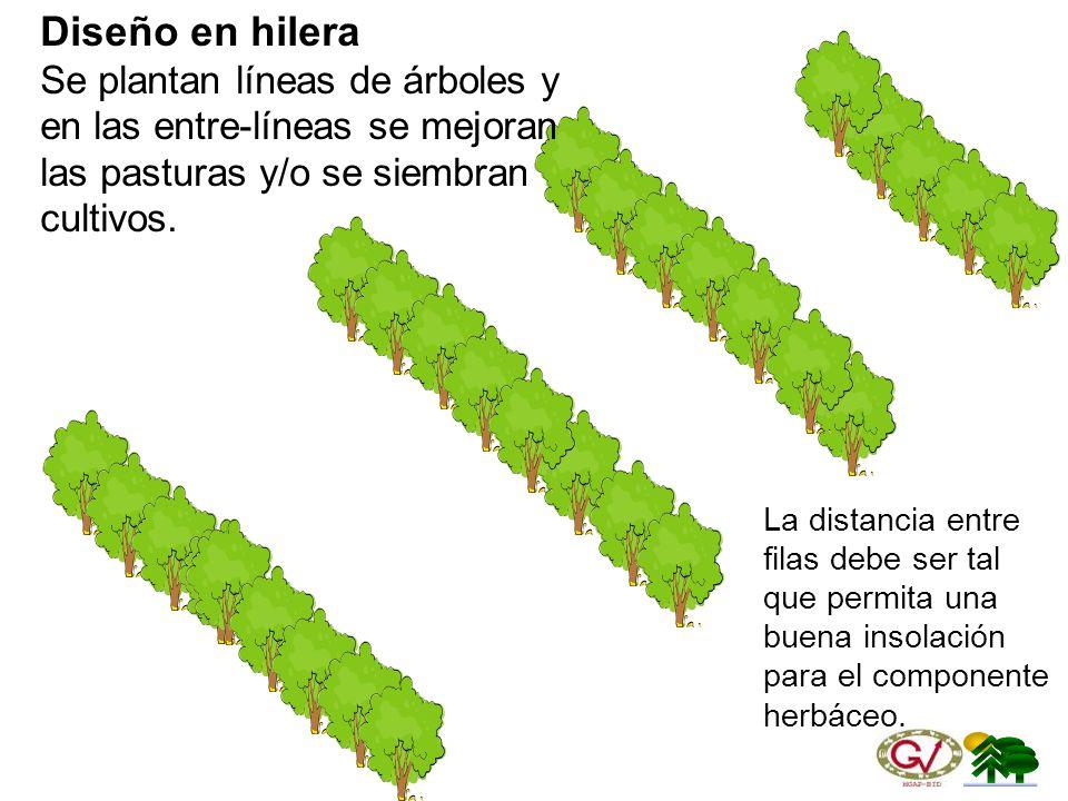 Diseño en hilera Se plantan líneas de árboles y en las entre-líneas se mejoran las pasturas y/o se siembran cultivos.