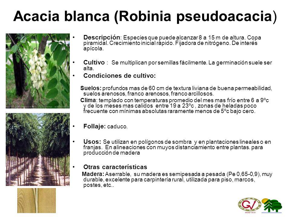 Acacia blanca (Robinia pseudoacacia)