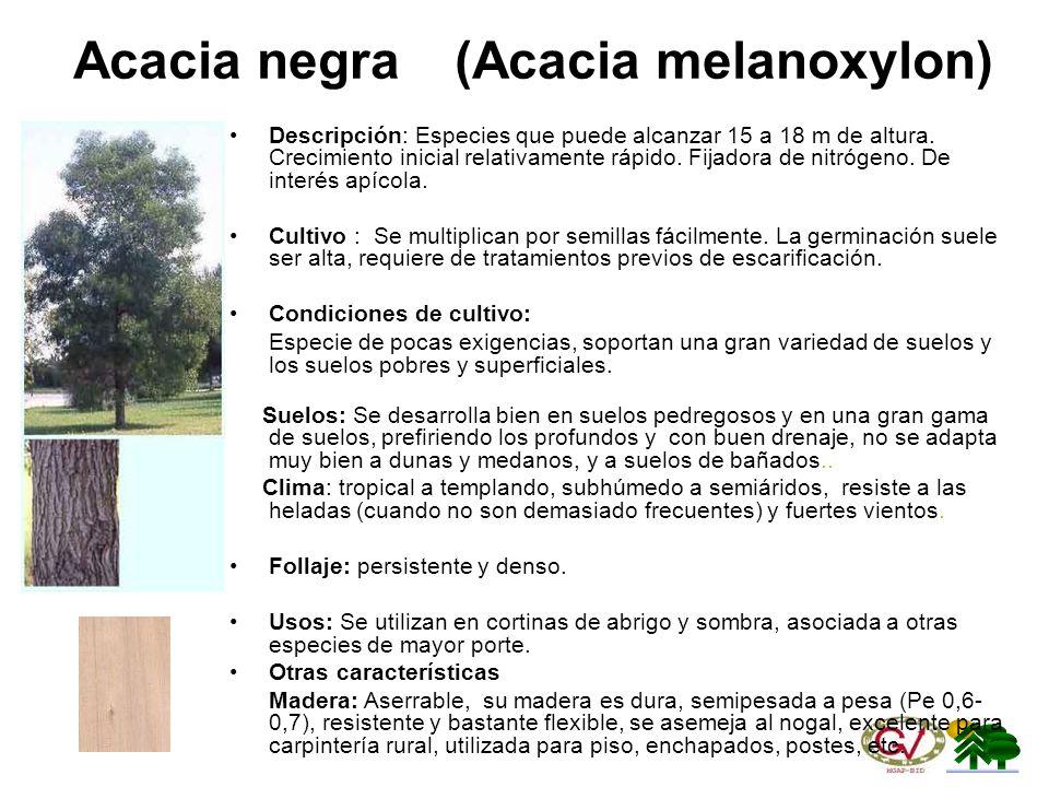 Acacia negra (Acacia melanoxylon)