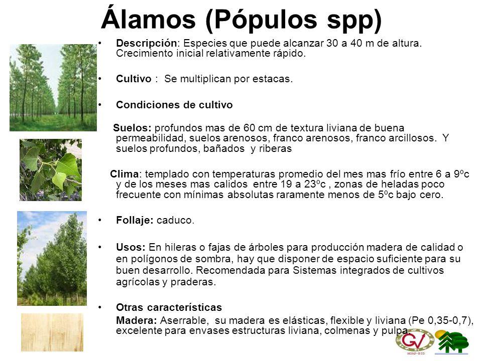 Álamos (Pópulos spp) Descripción: Especies que puede alcanzar 30 a 40 m de altura. Crecimiento inicial relativamente rápido.