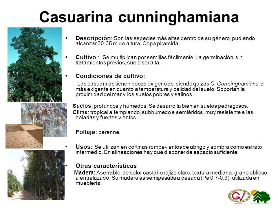 Casuarina cunninghamiana