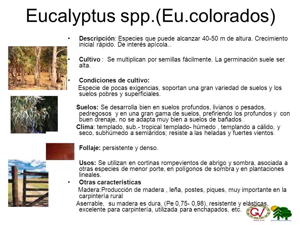 Eucalyptus spp.(Eu.colorados)