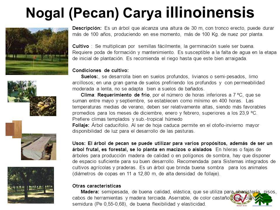 Nogal (Pecan) Carya illinoinensis
