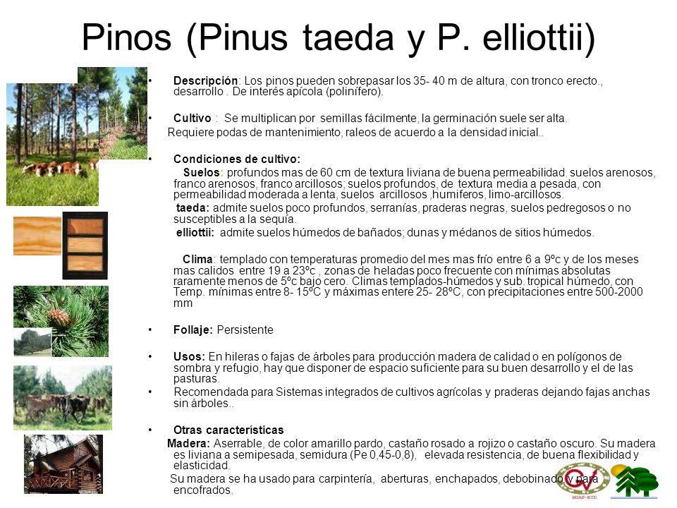 Pinos (Pinus taeda y P. elliottii)