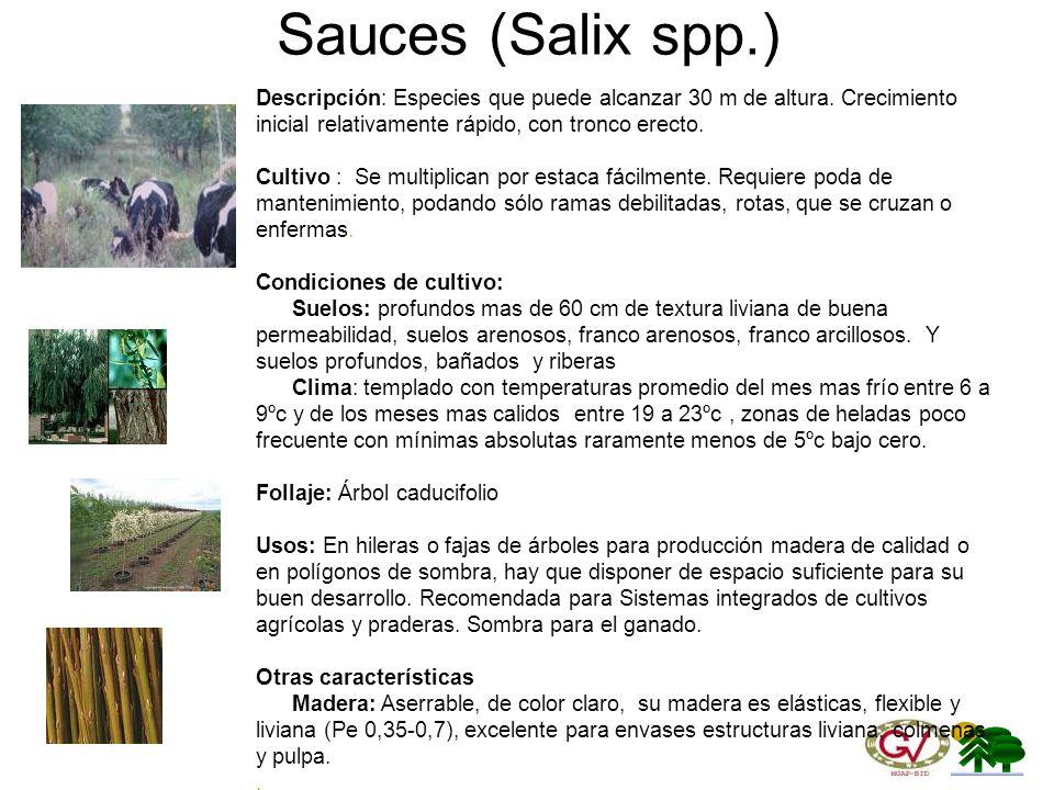 Sauces (Salix spp.) Descripción: Especies que puede alcanzar 30 m de altura. Crecimiento inicial relativamente rápido, con tronco erecto.