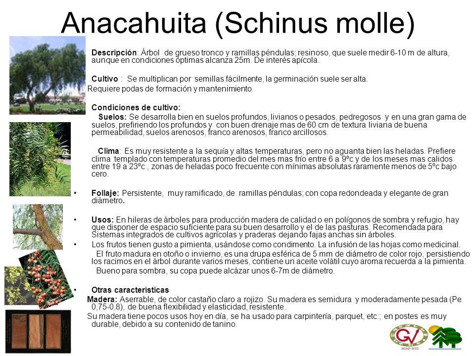 Anacahuita (Schinus molle)