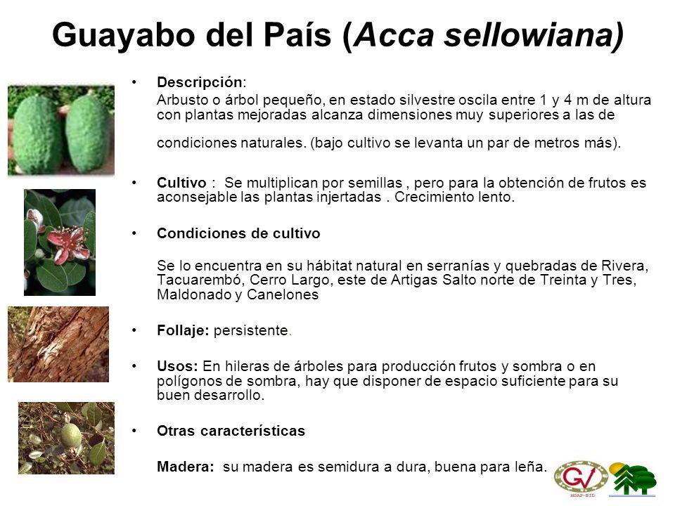 Guayabo del País (Acca sellowiana)